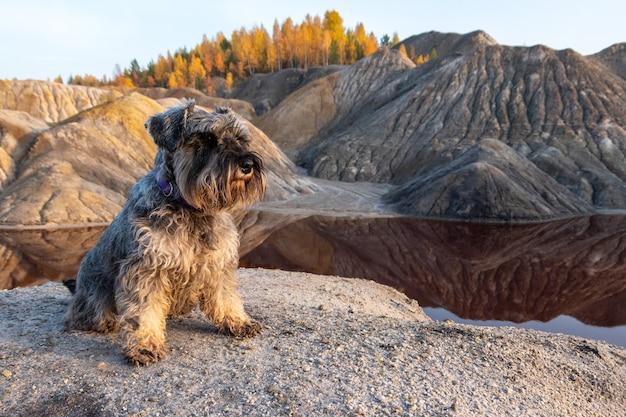 Cachorro schnauzer sentado na margem arenosa do lago