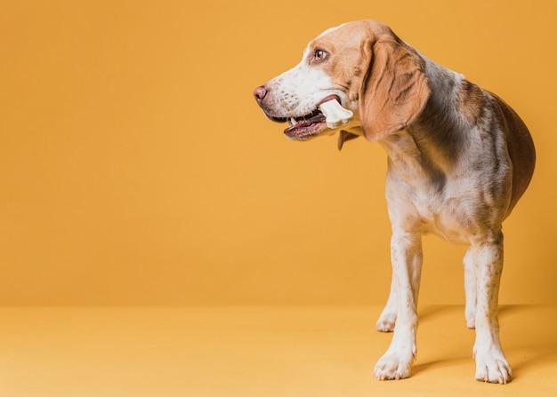 Cachorro segurando um osso e desviar o olhar