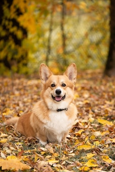 Cachorro sentado no chão coberto de folhas amarelas caídas na floresta de outono e olha para a câmera e sorri