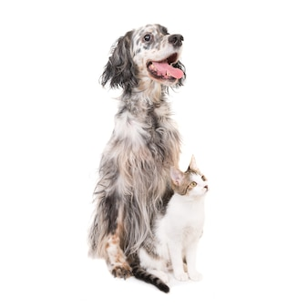 Cachorro setter inglês e gato doméstico juntos, isolados no fundo branco