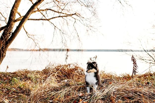 Cachorro shelty caminha pela floresta de outono, passeio com cachorro, puro-sangue, passeio com a família, socializando com animais de estimação
