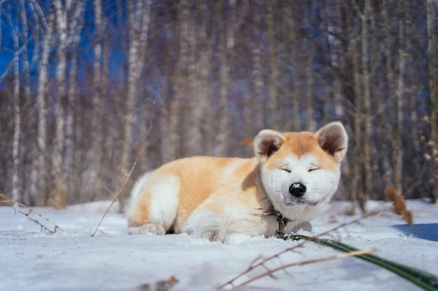 Cachorro shiba inu fofo deitado na neve com os olhos fechados na floresta do final do outono