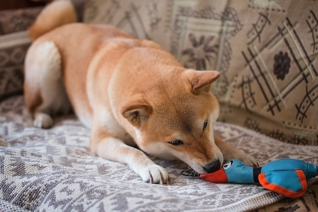 Cachorro shiba inu vermelho fofo brincando com um pato de brinquedo no sofá em casa.