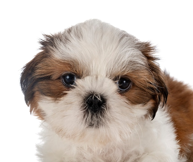 Cachorro shih tzu isolado no branco