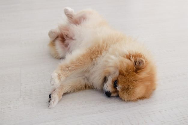 Cachorro spitz da pomerânia, cachorrinho lindo brincando deitado de costas