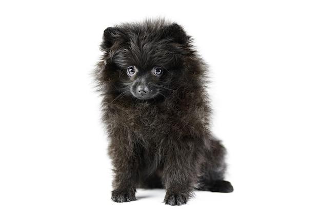 Cachorro spitz pomeranian fofo