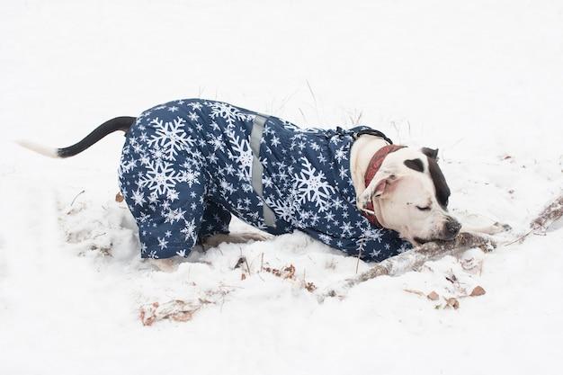 Cachorro staffy americano brincando na neve do inverno