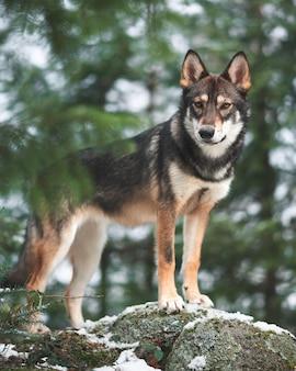 Cachorro tamaskan parado em uma rocha em uma floresta