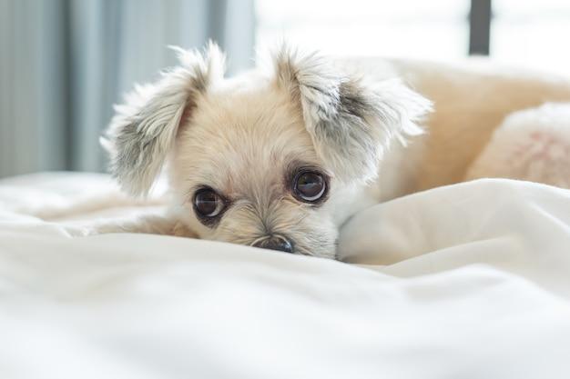 Cachorro tão bonito misturado raça de sono encontra-se na cama com véu branco e olhando para algo na cama