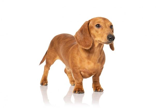Cachorro teckel marrom no branco