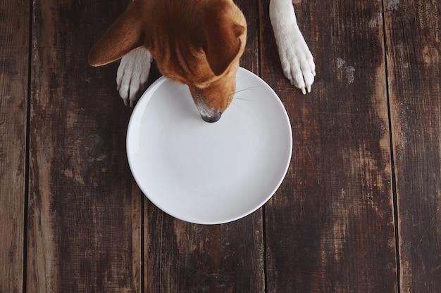 Cachorro tenta comer do prato de cerâmica vazio na velha mesa de madeira escovada vintage com vista superior branca. conceito