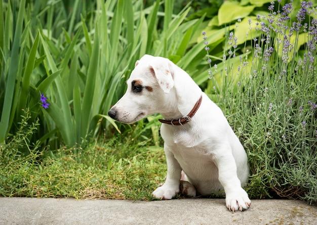 Cachorro terrier branco jack russell no parque na grama