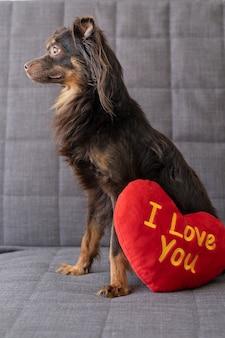 Cachorro terrier de brinquedo russo marrom deitado no sofá com um grande coração de brinquedo macio. dia dos namorados.