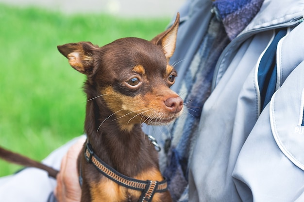 Cachorro terrier de brinquedo russo nas mãos de um velho_ Foto Premium