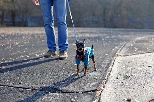 Cachorro terrier de brinquedo usa jaqueta de veludo e arco andando na coleira com homem, moda para animais de estimação