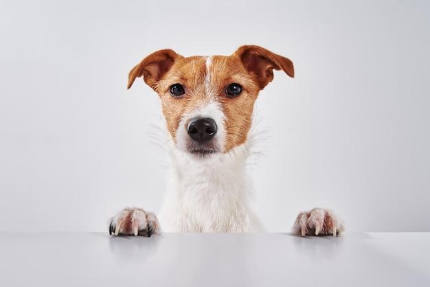 Cachorro terrier jack russell com patas na mesa