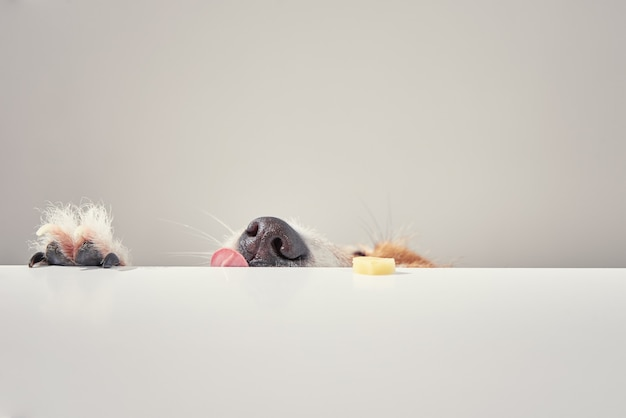 Cachorro terrier jack russell comer comida de uma mesa. retrato de cachorro engraçado com língua