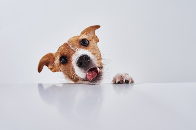 Cachorro terrier jack russell comer comida de uma mesa. retrato de cachorro engraçado em branco