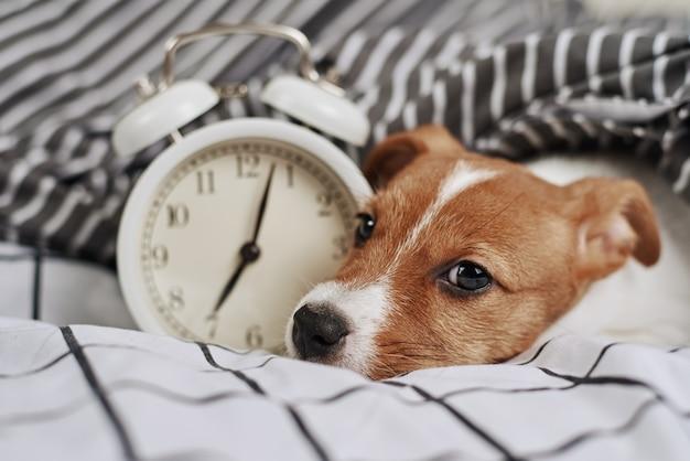 Cachorro terrier jack russell dorme na cama com despertador vintage. conceito de acordar e de manhã