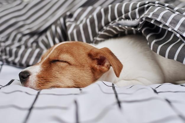 Cachorro terrier jack russell dormindo embaixo do cobertor na cama