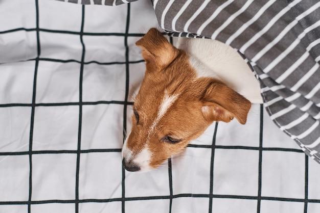 Cachorro terrier jack russell embaixo do cobertor na cama