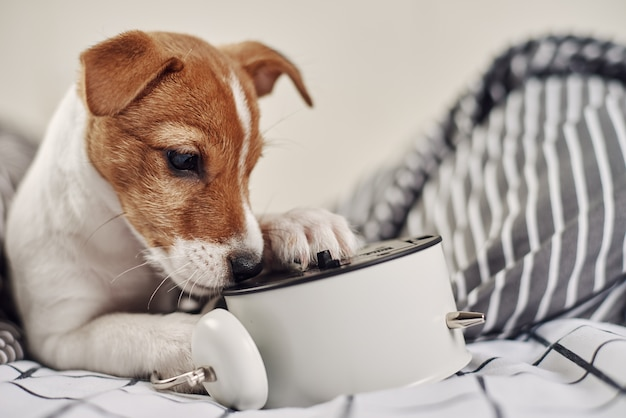 Cachorro terrier jack russell mordiscando despertador vintage na cama