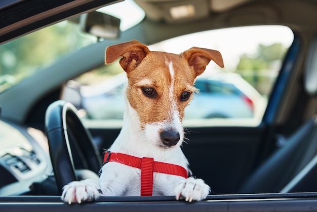 Cachorro terrier jack russell no carro no banco do motorista