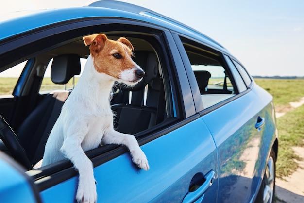 Cachorro terrier jack russell sentado no carro no banco do motorista