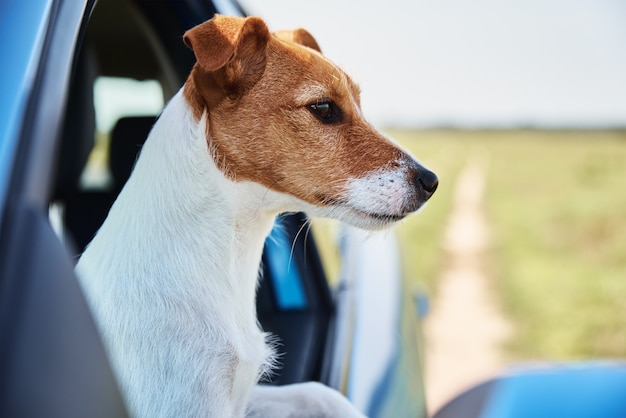 Cachorro terrier jack russell sentado no carro no banco do motorista