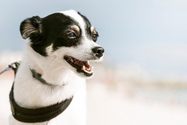 Cachorro terrier pequeno jack russell curtindo o sol na praia