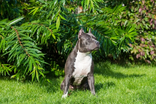 Cachorro terrier staffordshire americano com pelo azul fofo