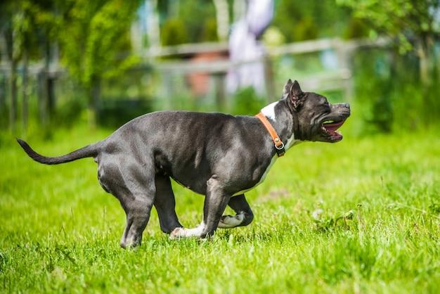 Cachorro terrier staffordshire americano de cabelo azul se movendo