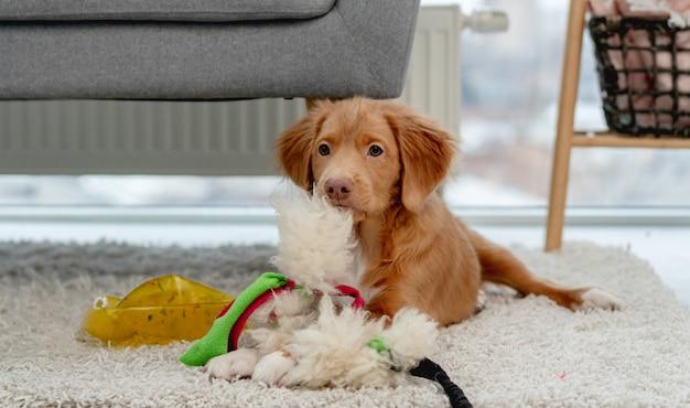Cachorro toller se divertindo com brinquedos de cachorro no tapete em casa