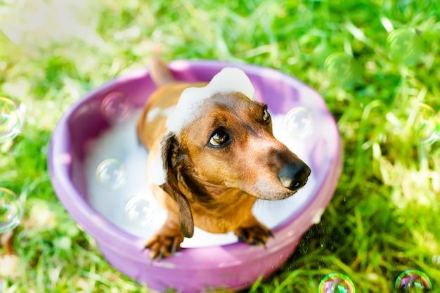 Cachorro tomando banho em uma bacia