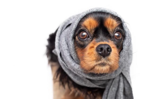 Cachorro triste cavalier king charles spaniel com orelhas doloridas