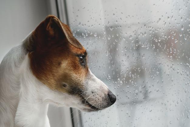 Cachorro triste está deitado na janela e esperando pelo dono.