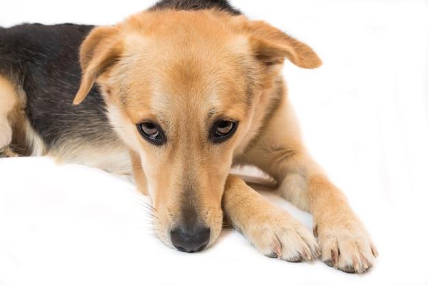 Cachorro triste isolado