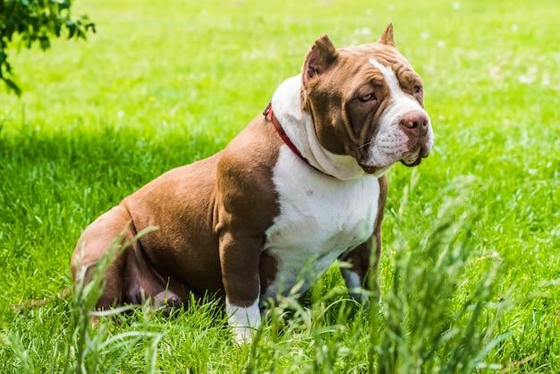 Cachorro valentão americano cor chocolate está na grama verde