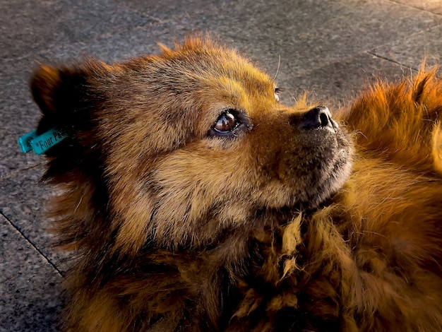 Cachorro vermelho fofo e fofo com olhos tristes e pensativos ao sol na rua