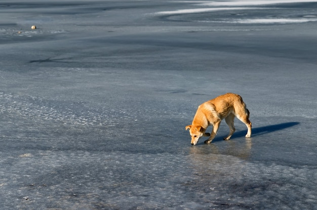 Cachorro vermelho solitário em rio de gelo congelado no inverno