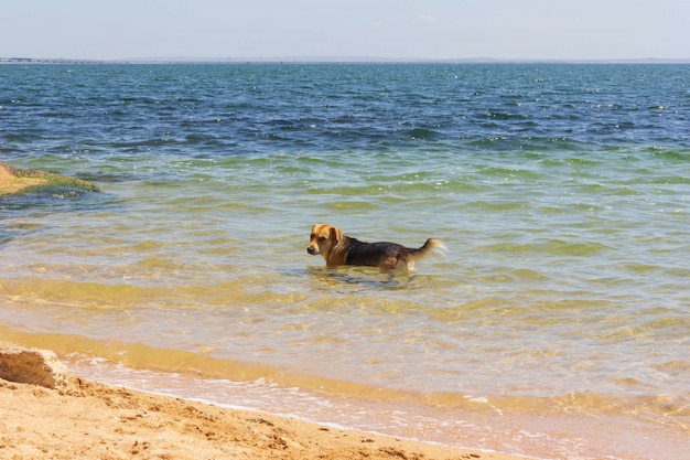 Cachorro vira-lata esfria na água do mar em um dia quente de verão