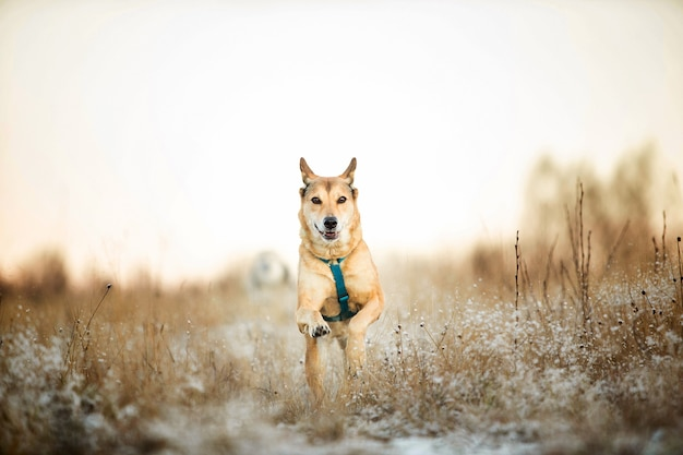 Cachorro vira-lata ruivo correndo