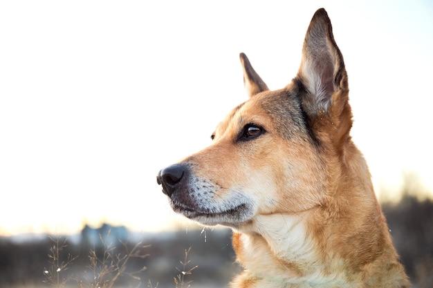 Cachorro vira-lata ruivo