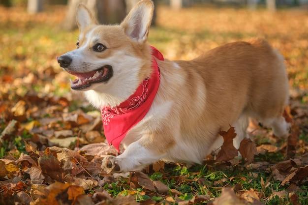 Cachorro welsh corgi em uma caminhada em um belo parque de outono com folhagem amarela