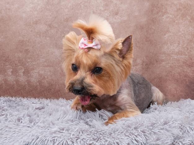 Cachorro yorkshire terrier depois de penteado em um tapete vintage em um lindo tapete