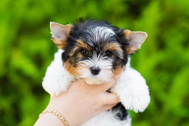 Cachorro yorkshire terrier nas mãos