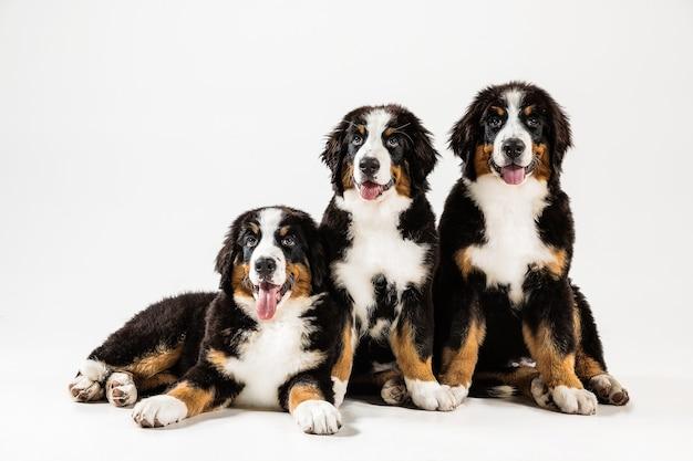 Cachorros berner sennenhund em branco