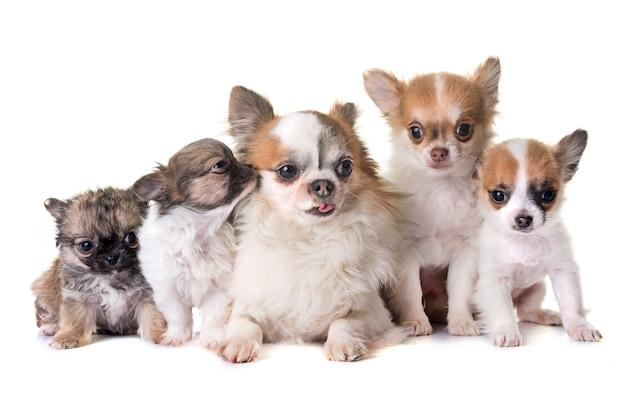 Cachorros chihuahua e adultos