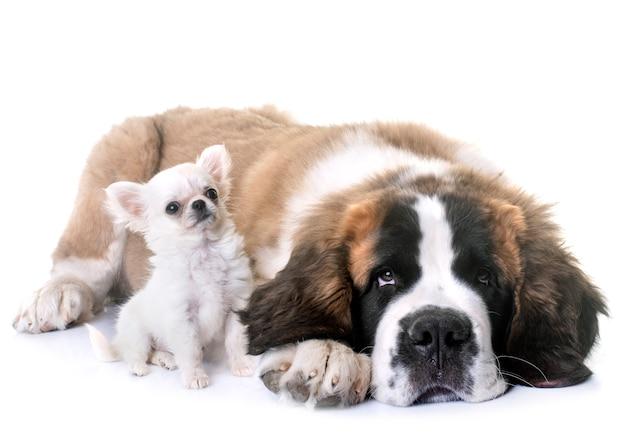 Cachorros chihuahua e saint bernard