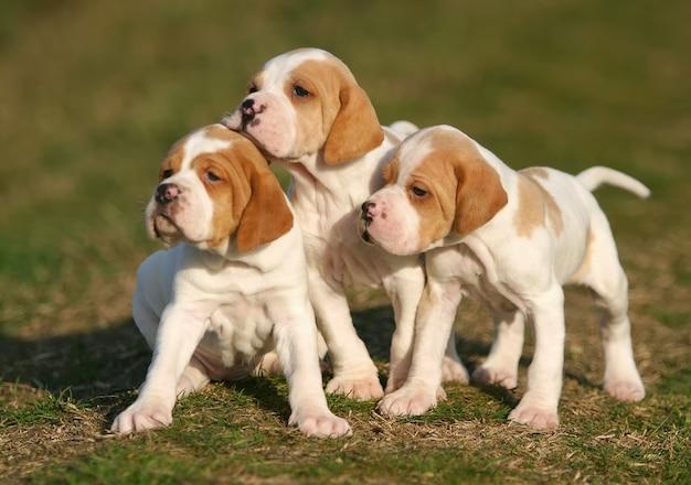 Cachorros de cachorro ponteiro alemão de pêlo curto
